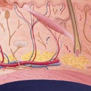 Будова шкіри людини: шари епідерміс і дерма
